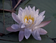 photo of water lily taken in Lake Como, Florida