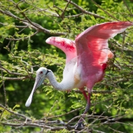 photo of Roseate Spoonbill taken at the Alligator Farm, St Augustine, Florida