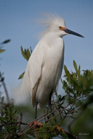 photo of Snowy Egret taken at the Alligator Farm, St Augustine, Florida