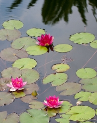 photo of red water lilies