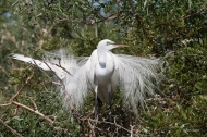 photo of Great Egret taken at the Alligator Farm, St Augustine, Florida