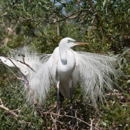 photo of Great Egret taken at the Alligator Farm, St Augustine, Florida