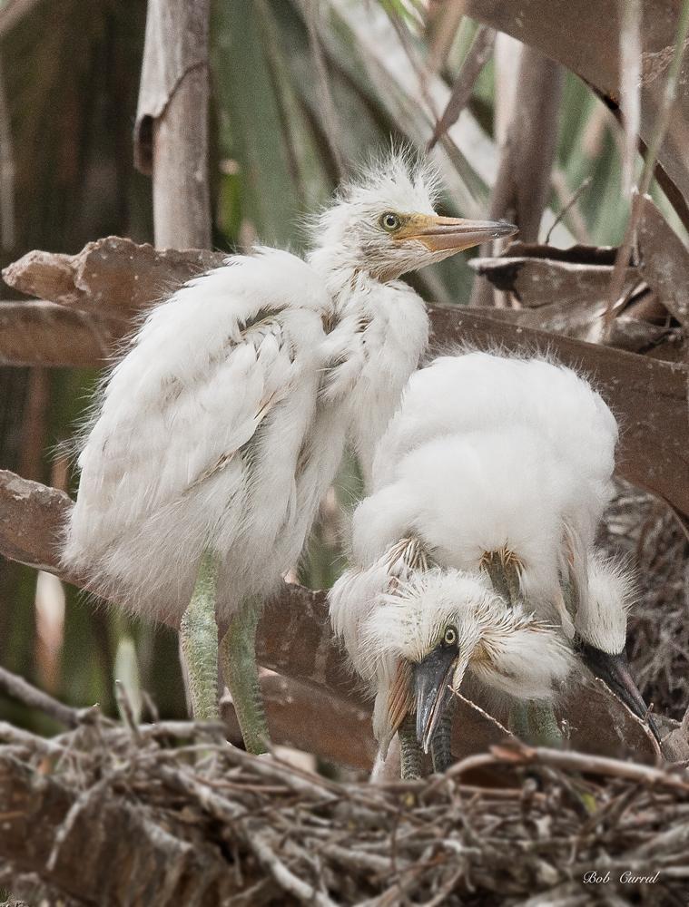 photo of Egret chicks in nest taken at the Alligator farm, St Augustine, Florida
