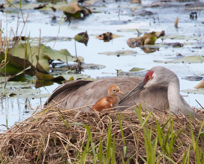 photo Sandhill Crane and Chick in Nest