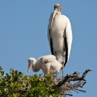 photo of Wood Stork and Chick taken at the Alligator Farm, St Augustine, Florida
