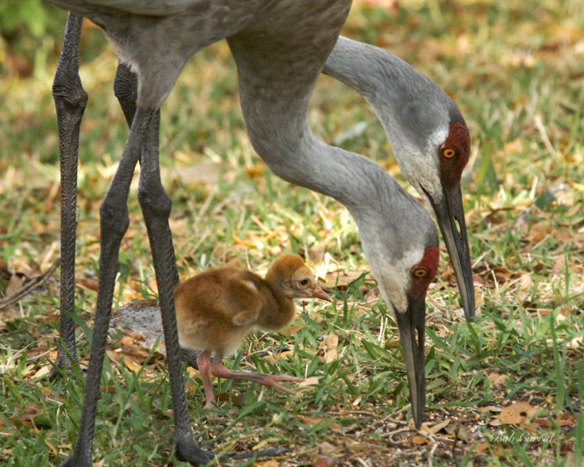 photo of Sandhill Cranes with Chick