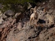 photo of Big Horn Sheep taken in Yellowstone national Park