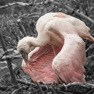 photo of young Roseate Spoonbill still in nest taken at the Alligator Farm, St Augustine, Florida