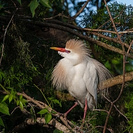photo of Cattle Egret taken at the Alligator Farm, St Augustine, Florida