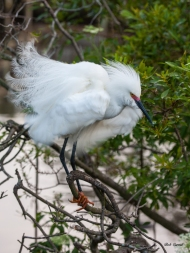 photo of Snowy Egret taken at the Alligator Farm, St Augustine, Florida