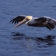 photo of Pelican photographer flying over St Johns River near Palatka, Florida