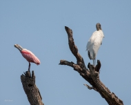 photo of Roseate Spoonbill and Wood Stork in adjoining dead branches taken at the Alligator Farm, St Augustine, Florida