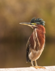 photo of Green heron taken in Everglades National Park