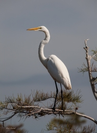 photo of great Egret on Pine branck taken in Everglades National Park