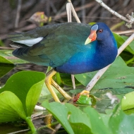 photo of Purple Galinule taken in Everglades National Park