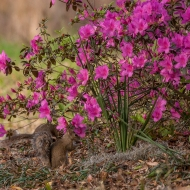 photo of Squirrel in Azaleas taken at Lake Como, Florida