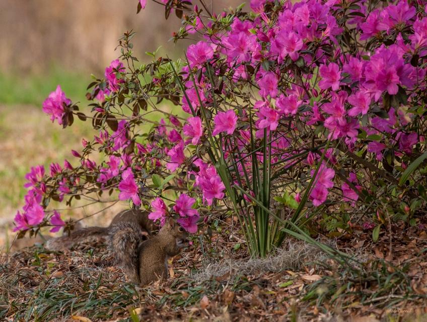 photo of Squirrel in Azaleas taken at Lake Como, Florida