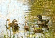 photo of Wood Duck Family taken in Lake Como, FL