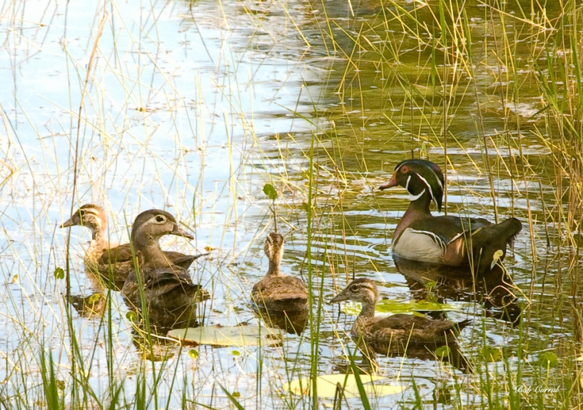 photo of Wood Duck Family taken in Lake Como, FL