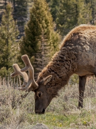 photo of Elk in velvet taken in Yellowstone National Park