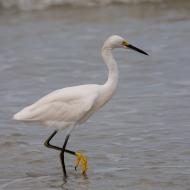 photo of Snowy Egret wading in surf at Daytona Beach, Florida