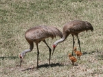 photo of Sandhill Crane and Chick in Nest