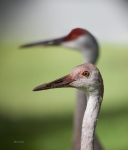 photo of Juvenile Sandhill Crane with Adult in Back #204