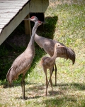 photo of Sandhill Cranes Adults with a juvenile