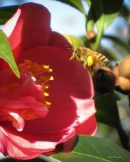 photo of bee in Camelia taken in Lake Como, Florida