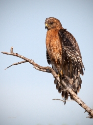 photo of red Shouldered hawk taken in Everglades National Park