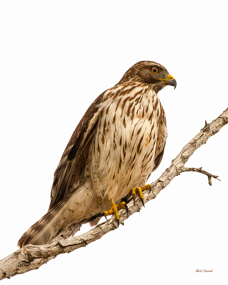 photo of Red Tailed Hawk taken in Everglades National Park