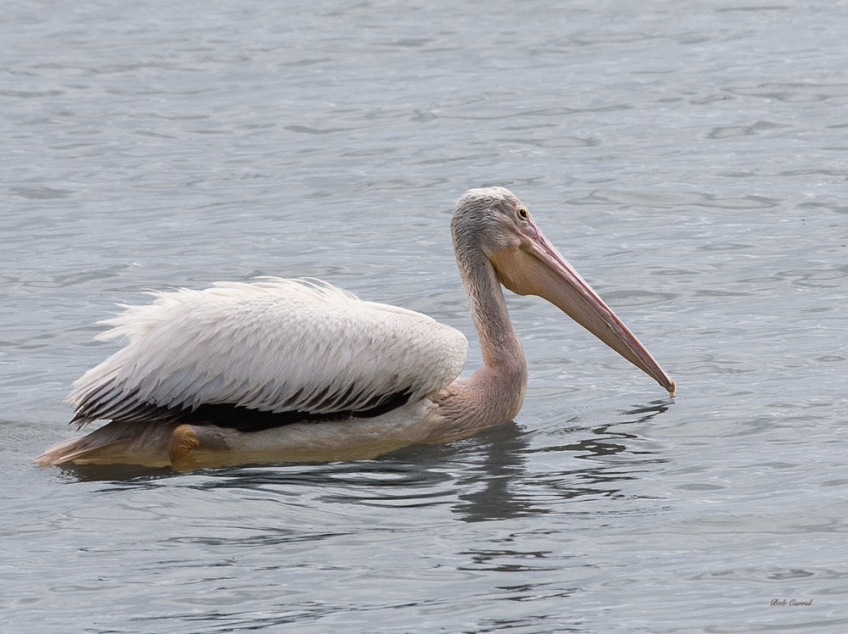 photo of White Pelican taken in Everglades National Park
