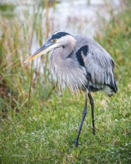photo of Great Blue Heron taken in Everglades National Park
