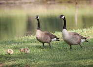 photo of Canadien Geese with chicks taken in Hollister, Florida