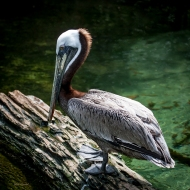 photo of Brown pelican taken in Jacksonville, Florida