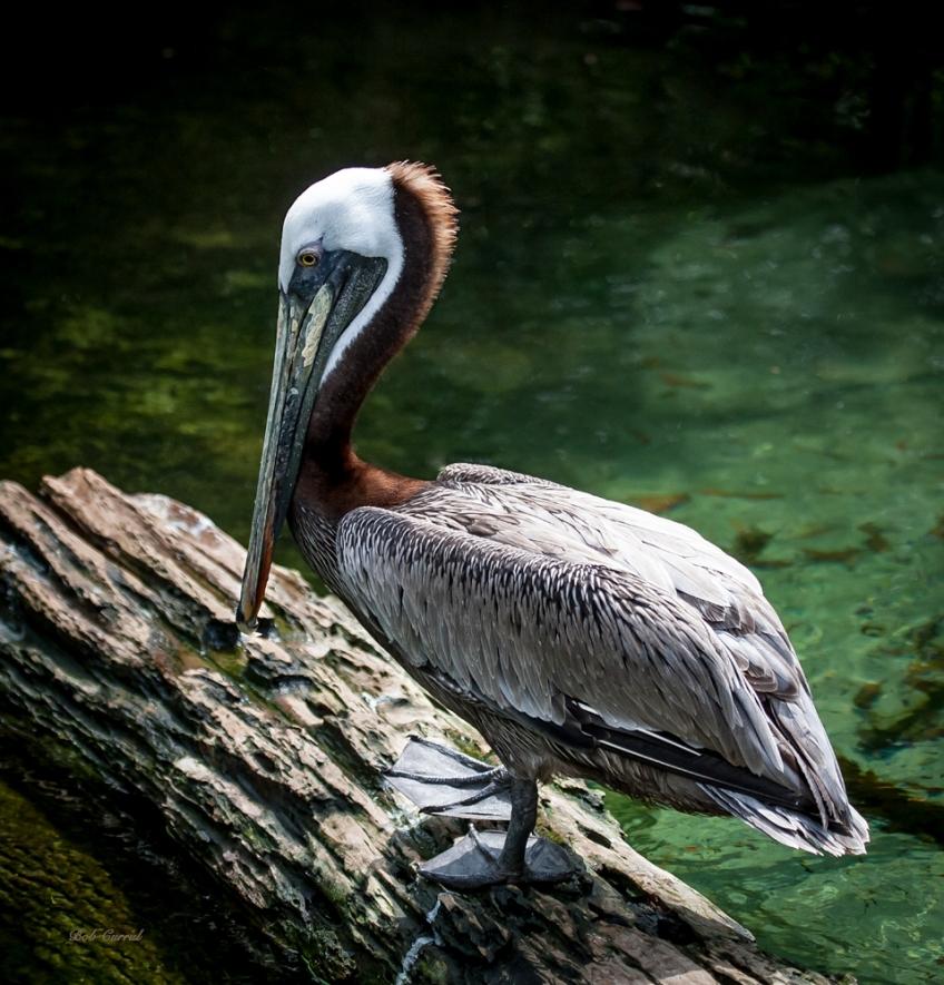 photo of Brown pelican taken in Jacksonville, Florida