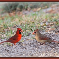 photo of Cardinals taken in lake Como, Florida