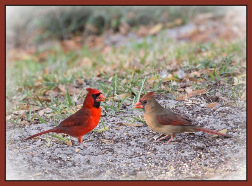 photo of Cardinals taken in lake Como, Florida