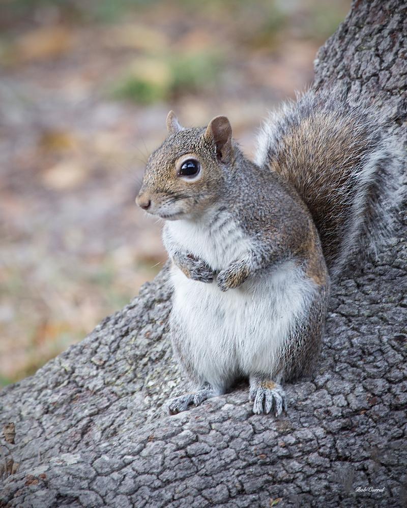 photo of Squirrel taken in lake Como, Florida