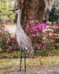 photo of Sandhill Crane and chick by Azaleas