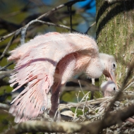photo of Roseate Spoonbill chicks in nest taken at the Alligator farm, St Augustine, Florida