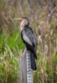 photo of Anhinga on water gauge taken in Everglades National Park