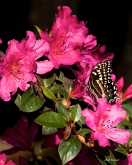 photo of Butterfly on Azaleas taken at Lake Como, Florida