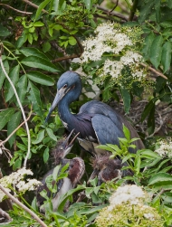 photo of Tricolor Heron and Chicks taken at the Alligator, Farm St Augustine, FL