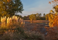 photo of pampas grass and other foliage surrounding Little Lake Como in Lake Como, FL