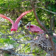 photo of Nesting Roseate Spoonbills taken at the Alligatpr Farm, St Augustine, FL