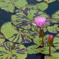 photo of Water Lily and Buds