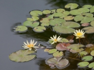 photo of Yellow Water Lilies