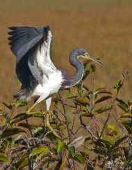 photo of Tricolor Heron taken in Everglades National Park