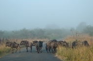photo of Wildebeest in morning Mist taken in Hluhluwe Umfolozi Game Reserve, South Africa